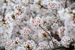 Somei-yoshino. Cherry blossom in Japan royalty free stock images
