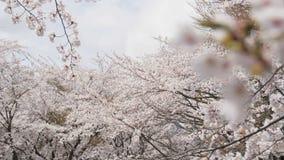 Somei yoshino sakura at park in spring season.  stock footage