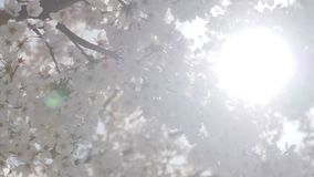 Somei yoshino sakura tree with sunlight in springtime