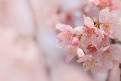 Someiyoshino樱花佐仓特写镜头有迷离背景在春天 免版税图库摄影