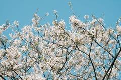 Someiyoshino Somei吉野在大宰府Tenmangu寺庙的樱花在大宰府市,福冈,日本 库存照片