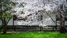 Someiyoshino (Somei-Yoshino) Cherry Blossom at Daigoji Temple (Daigo-ji) in Kyoto, Japan. Stock Images