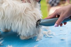 Cutting dog`s fur. Someone cutting too long dog`s fur or hair Royalty Free Stock Photography