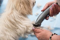 Cutting dog`s fur. Someone cutting too long dog`s fur or hair Royalty Free Stock Photos