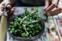 Someone growing  little bonsais Stock Photos