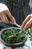 Someone growing  little bonsais Royalty Free Stock Photo