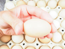 Someone holding a chicken egg. Over a container of brown and white eggs Royalty Free Stock Photos