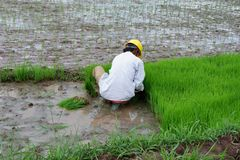 someone is planting rice in the fields royalty free stock photos