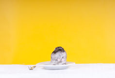Someone's dinner. Hamster in a plate on a yellow background royalty free stock photo