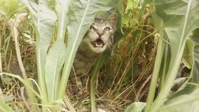 Gray small wild cat kitten sneaking in tall grass in the forest. Someone throws a gray kitten over bilberry bushes in the forest, the flight of a small cat stock footage