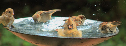 Someone tipping the bath-birds. Cardinal and sparrows in the bird bath looks like it is leaning to the side Royalty Free Stock Photography