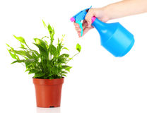 Someone watering flower. With spray isolated on white Royalty Free Stock Image