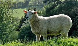 Somerset Sheep. A sheep basks in the sun on the hills near Corton Denham, Somerset Stock Photos