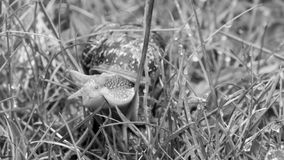 Somerset Snail In The Grass C. Shallow depth of field black and white photography royalty free stock photos
