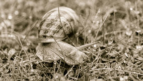 Somerset Snail In The Grass D. Shallow depth of field sepia tone Stock Photography
