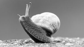 Somerset Snail In The Grass E. Shallow depth of field black and white photography Royalty Free Stock Photography