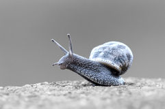 Somerset Snail In The Grass F. Shallow depth of field isolated black and white background royalty free stock photos