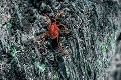 Something arthropod and invertebrate. Tiny red spider or tick on the background of a rough stone texture stock photography
