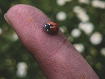 Something beautiful. Saw this Ladybird on my hand it found rest on my finger where it stood for 15 minutes royalty free stock images