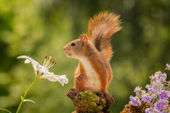 Something is calling. Close up of  a female red squirrel standing between flowers Stock Images