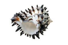 Something fishy. Fun, fish-shaped murex seashell royalty free stock image