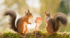 Something more interesting. Red squirrels standing with mushroom Stock Photo