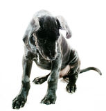 Something moved. Black great Dane puppy that is looking for something on white stock photos