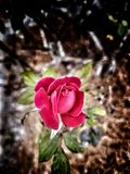 Something new. Red  rose new growth show me you care Stock Image