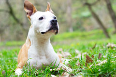 Something smelled. Portrait of happy and cute American Staffordshire Terrier Royalty Free Stock Photos