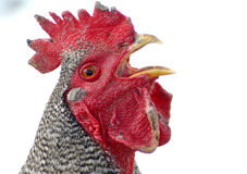Something To Yap About. Barred Rock Rooster stock photos