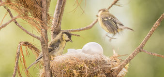 Something wrong. Close up of titmouse whaching at a egg in a bird nest a blurry tit is jumping away Stock Photography