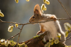 Somethings up. Close up of red squirrel holding on to a willow branch with flowers royalty free stock photography