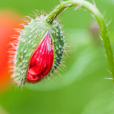 Sometime Soon. Taking a peek inside a poppy bud Stock Image