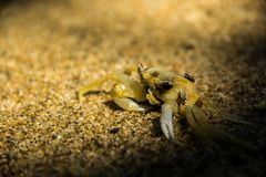 Crab dead in the sand of a beach in Bahia, Brazil royalty free stock images