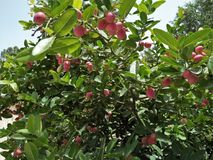 Miracle fruit & x28;SYNSEPALUM DULCIFICUM & x29;. Sometimes known as miracle berry ,the berry has a mildly sweet flavor .Miracle fruits contains a glycoprotein royalty free stock photo