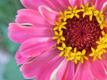 Magic and beauty in a single flower. Sometimes the most beauty full thing is a single flower. Simpel jet magical and pretty in pink and yellow royalty free stock image