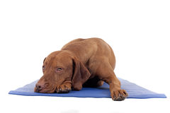 Sometimes you need to rest. Dog resting on yoga mat isolated on white background Stock Images