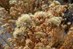 Close up of some delightful cotton weeds. Somewhat cotton like, growing in large patches, these unknown plants are abundant in Colorado or Idaho Royalty Free Stock Photos