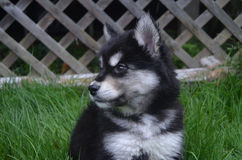 Somewhat Sad Face of a Black and White Husky Pup. Sweet sad face of a black and white husky puppy Stock Photo