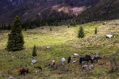 Herd of horses grazing in highlands. Somewhere deep within Altai mountains, Russia Stock Image