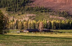 Herds of horses and cows grazing on meadow. Somewhere deep within Altai mountains, Russia royalty free stock image