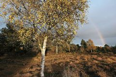 Silver birch tree/Betula Pendula glowing in the afternoon light Skipwith Common East Yorkshire England. Somewhere over the rainbow at Skipwith Common with the Stock Images