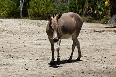 Sommali Wild Ass - Equus africanus somaliensis Royalty Free Stock Image