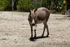 Sommali Wild Ass - Equus africanus somaliensis. A Sommali Wild Ass - Equus africanus somaliensis Royalty Free Stock Image