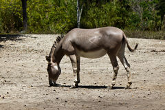 Sommali Wild Ass - Equus africanus somaliensis. A Sommali Wild Ass - Equus africanus somaliensis Royalty Free Stock Photography