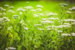 Sommaräng med vita blommor av yarrow arkivfoton