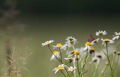 Sommarängen är full av blommor Arkivbild
