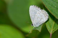 Sommar Azure Butterfly Royaltyfri Foto