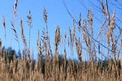 Sommar blå himmel, fält, veteöron arkivfoto