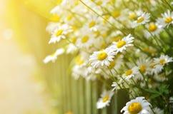 Sommar blommar kamomillblomningar i trädgård Arkivbilder